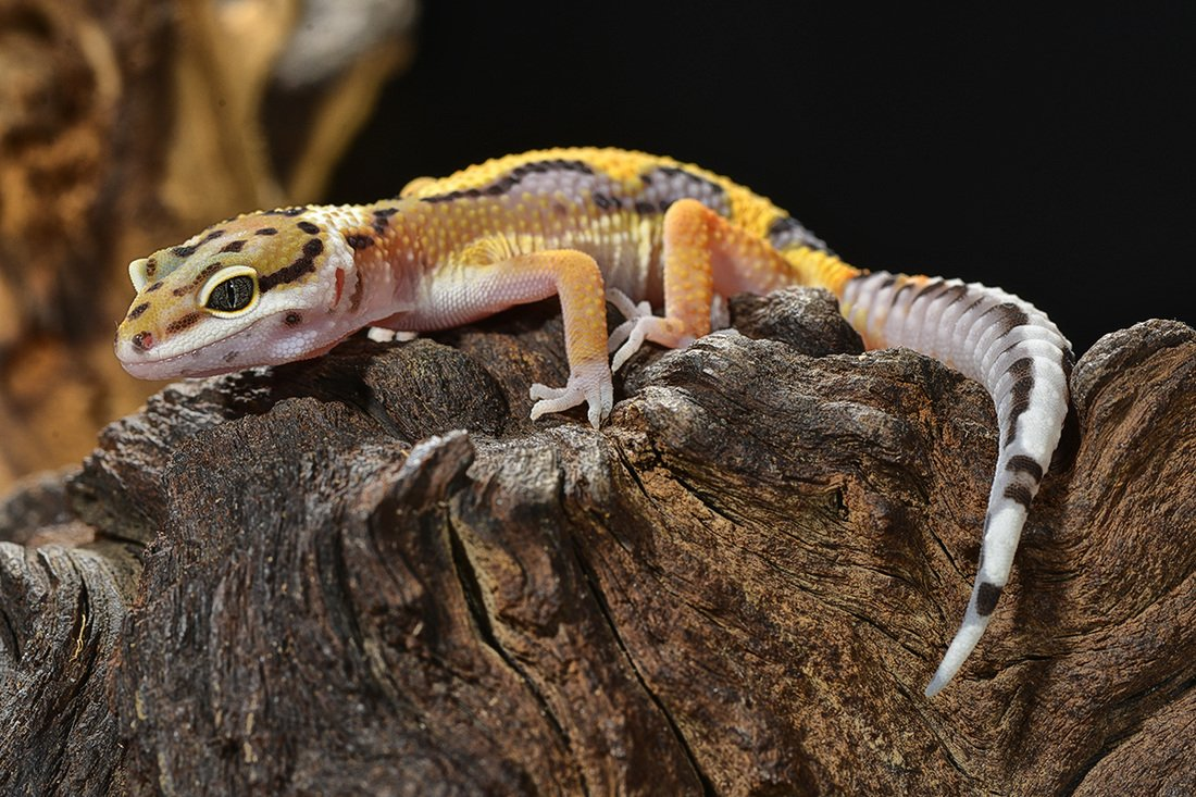 Reptiles for Sale - Petland Stores in Athens, Ohio