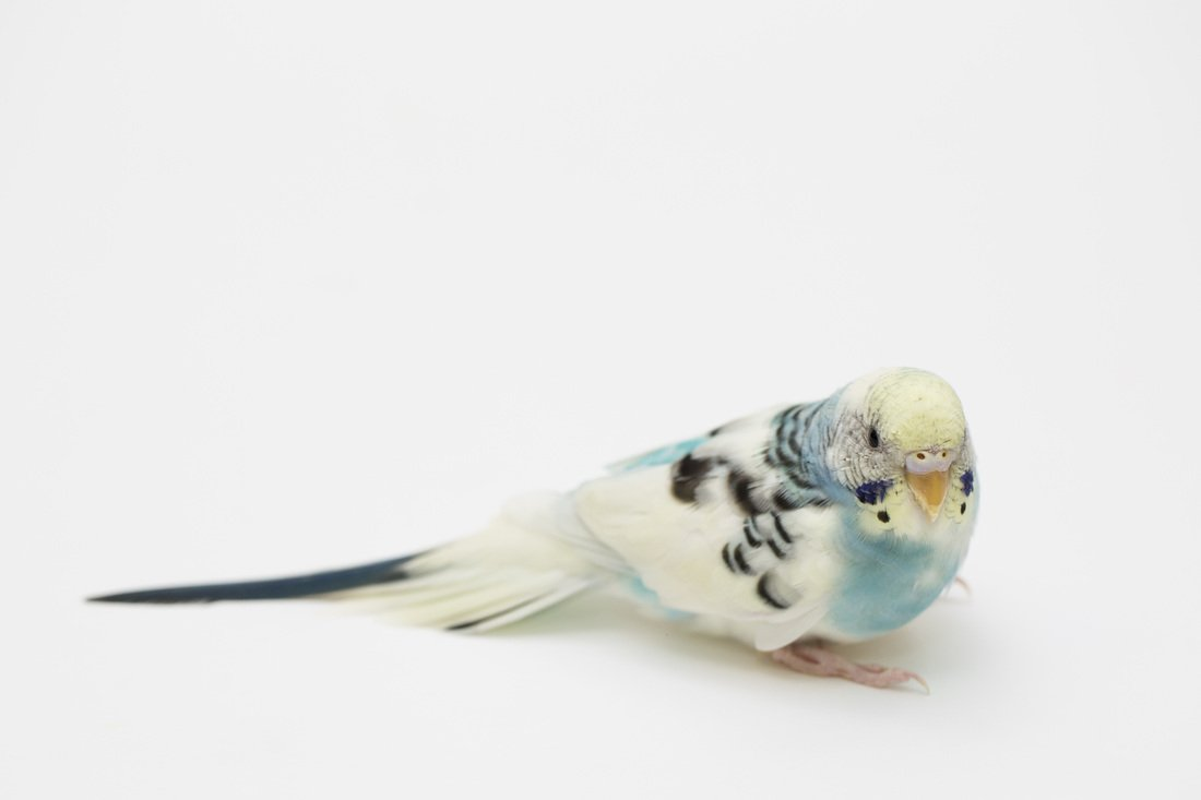 Birds For Sale - Petland Stores in Athens, Ohio
