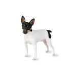 Petland Athens, OH Toy Fox Terrier
