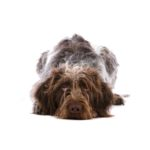 Petland Athens, OH German Wirehaired Pointer