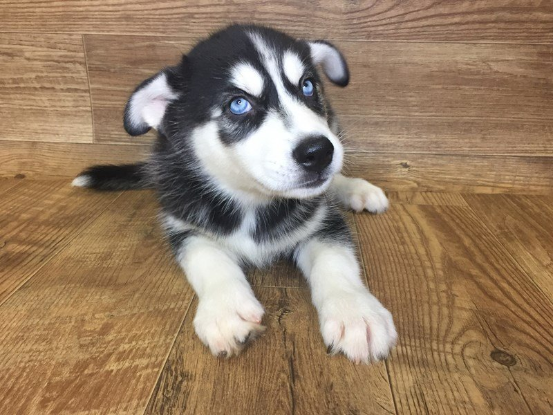 Siberian Husky-DOG-Male-Black & White-2420680-Petland Athens, OH