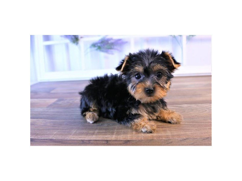 Yorkshire Terrier-DOG-Female-Black / Tan-2427242-Petland Athens, OH