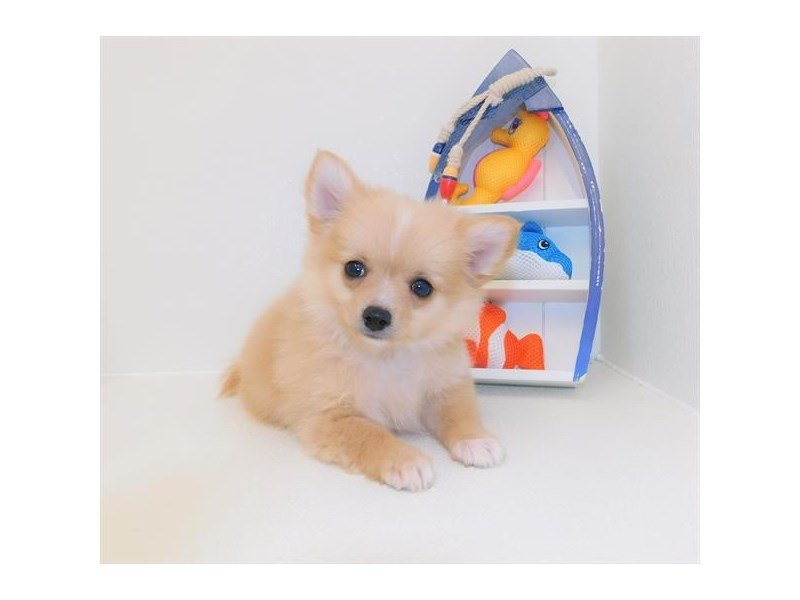 Pomeranian/Chihuahua-DOG-Male-Orange-2427280-Petland Athens, OH