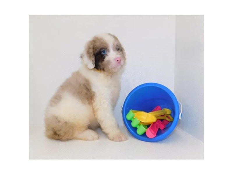 Aussiedoodle-DOG-Male-Red Merle-2427286-Petland Athens, OH