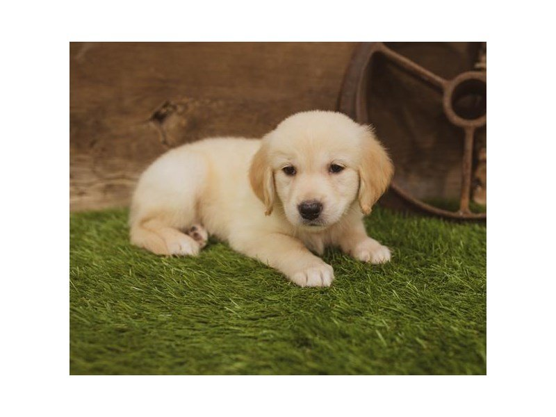 Golden Retriever-DOG-Female-Golden-2438975-Petland Athens, OH