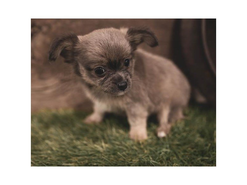 Chihuahua-DOG-Male-Black Sabled Fawn-2445014-Petland Athens, OH
