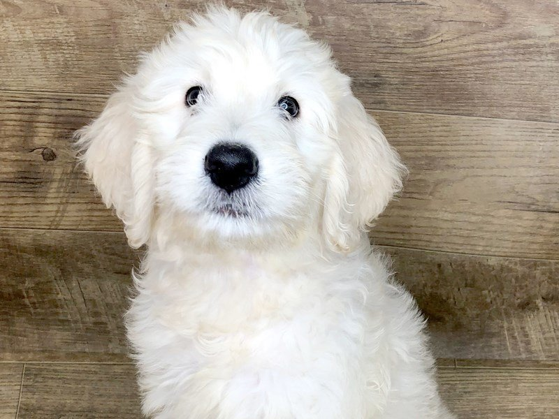 Goldendoodle-DOG-Male-Light Golden-2439142-Petland Athens, OH