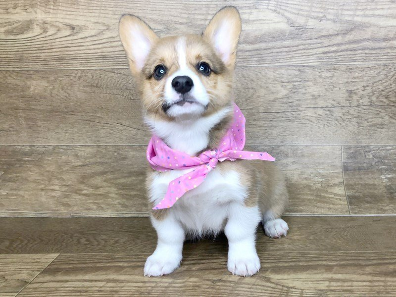 Pembroke Welsh Corgi-DOG-Female-RED WHITE-2451356-Petland Athens, OH