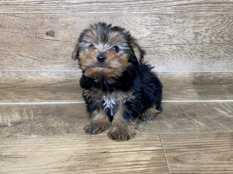 Yorkshire Terrier-Male-BLK TAN-2463914-Petland Athens, OH