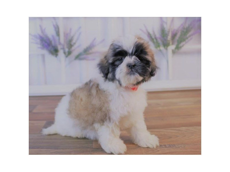 Shih Tzu-DOG-Female-Gold / White-2420807-Petland Athens, OH