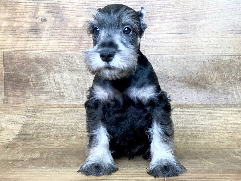 Miniature Schnauzer-Male-BLK SILVER-2439222-Petland Athens, OH