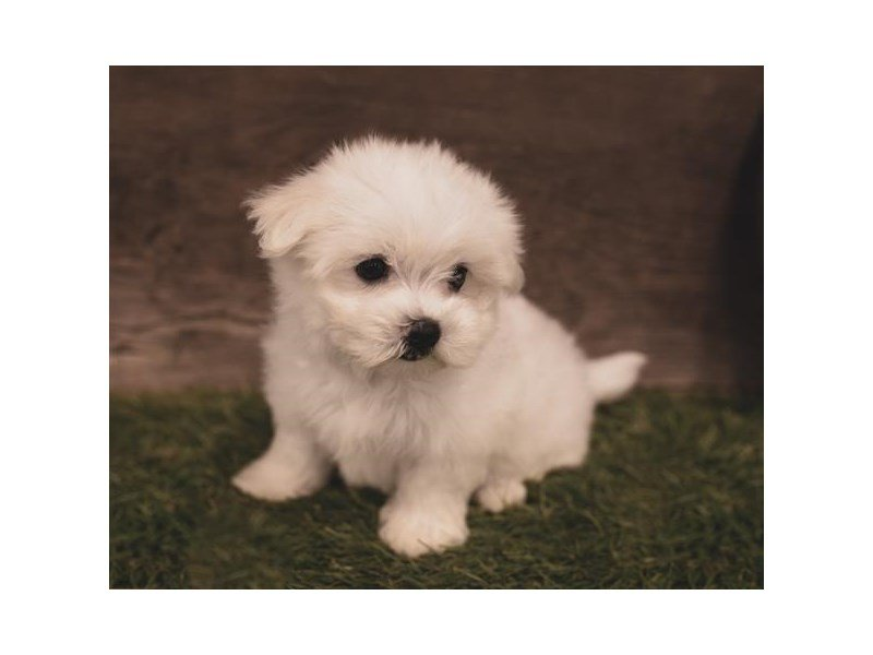 Maltese-Female-White / Tan-2451476-Petland Athens, OH