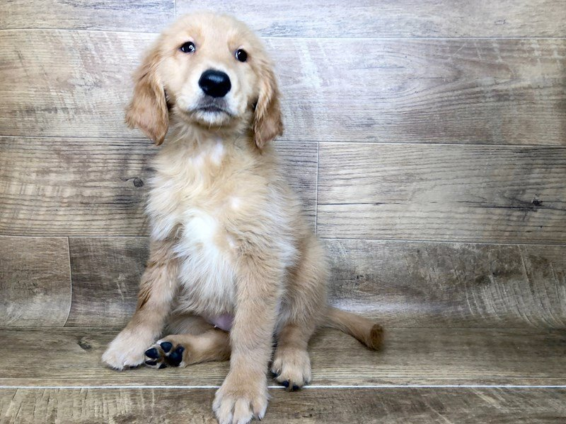 Golden Retriever-Female-Rustic Gold-2453587-Petland Athens, OH