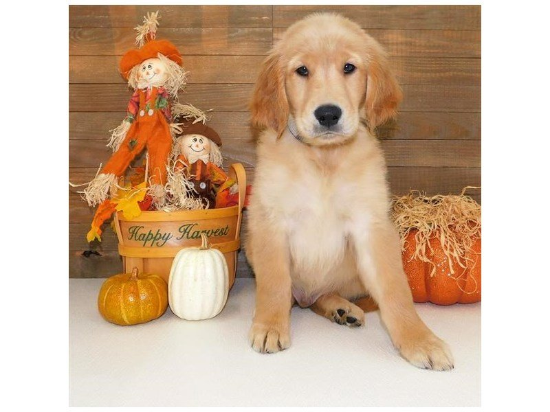 Golden Retriever-DOG-Male-Golden-2458300-Petland Athens, OH