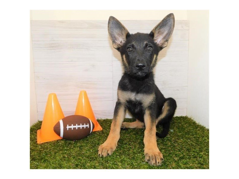 German Shepherd Dog-Male-Black / Tan-2458301-Petland Athens, OH