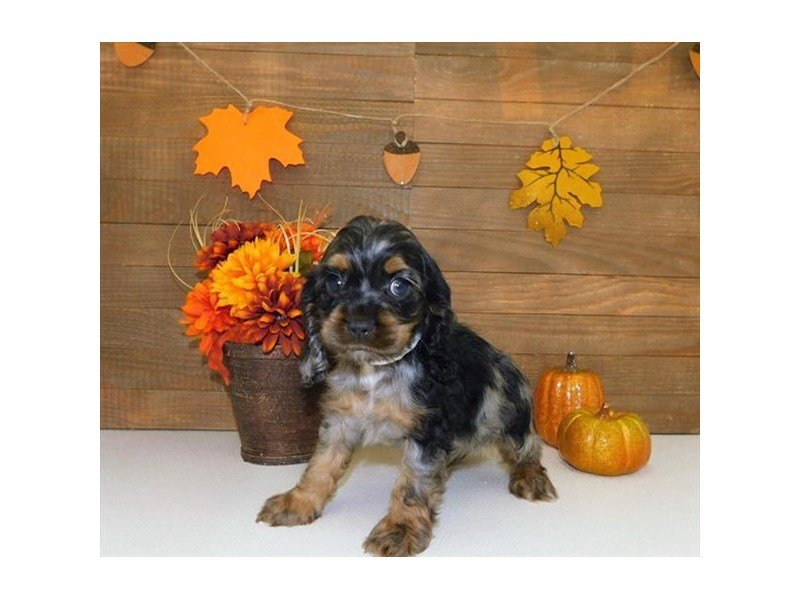 Cocker Spaniel-Male-Blue Roan-2464300-Petland Athens, OH