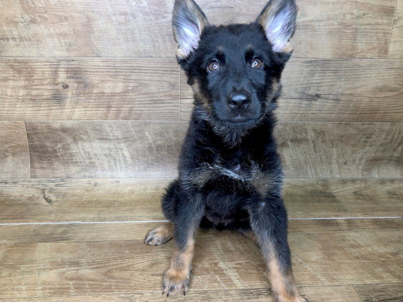German Shepherd-DOG-Female-Black and Tan-2462133-Petland Athens, OH
