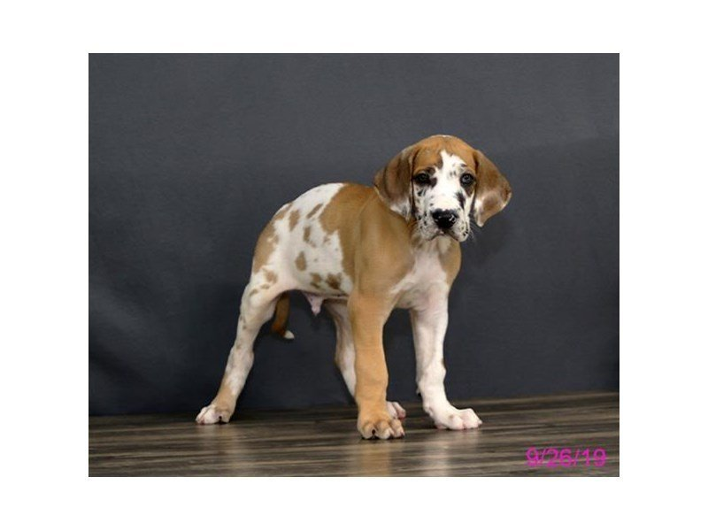 Great Dane-DOG-Male-Fawnequin-2469775-Petland Athens, OH