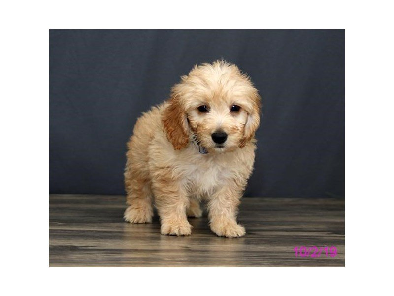Goldendoodle Mini-Male-Golden-2477545-Petland Athens, OH