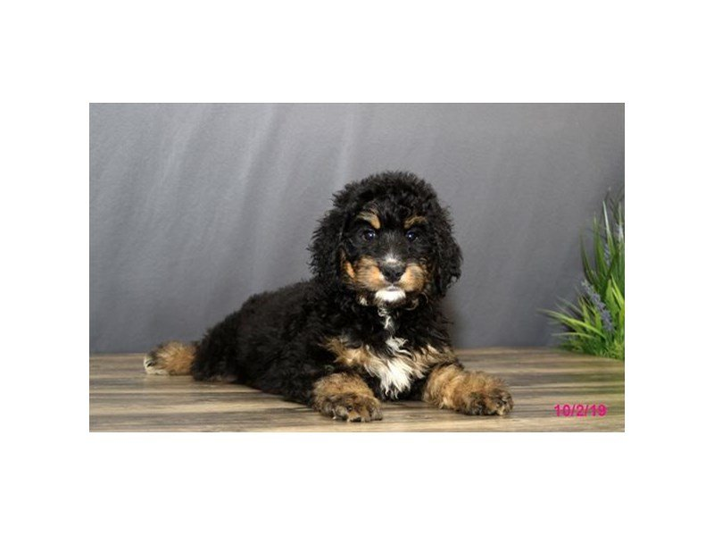 Bernadoodle-Female-Black Rust / White-2477547-Petland Athens, OH