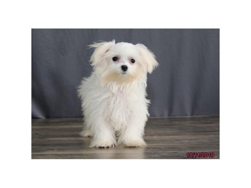 Maltese-Female-White-2497983-Petland Athens, OH