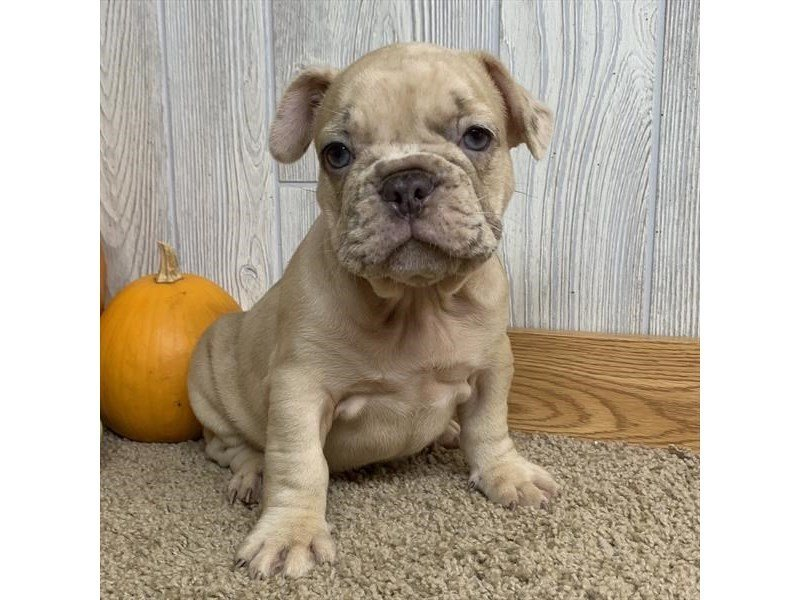 French Bulldog-Male-Chocolate Merle-2497985-Petland Athens, OH