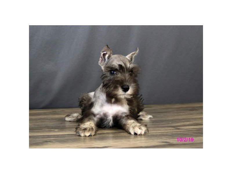Miniature Schnauzer-Male-Salt / Pepper-2497990-Petland Athens, OH
