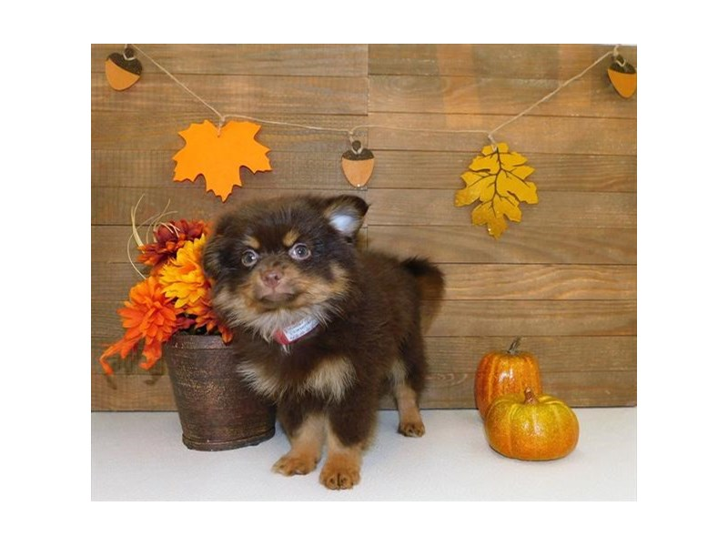 Pomeranian-Male-Chocolate / Tan-2464301-Petland Athens, OH