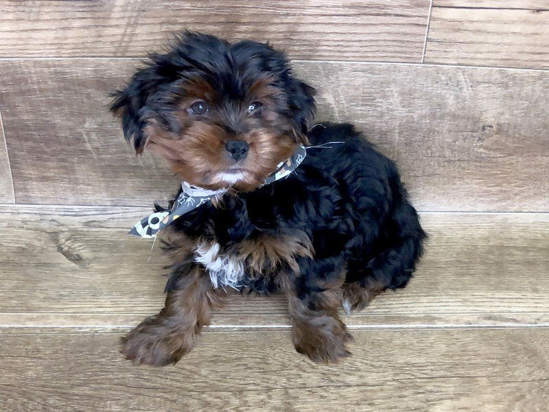 Morkie-Male-BLK TAN-2463640-Petland Athens, OH
