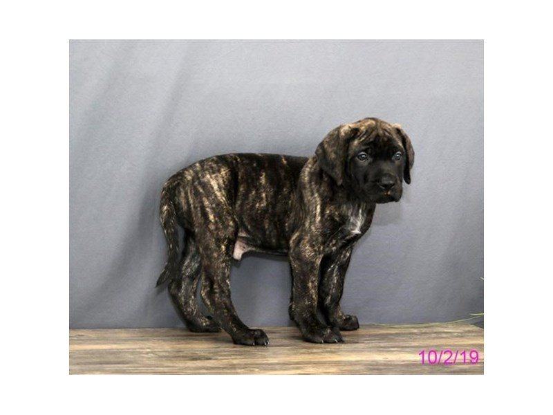 Mastiff-DOG-Male-Brindle-2477546-Petland Athens, OH