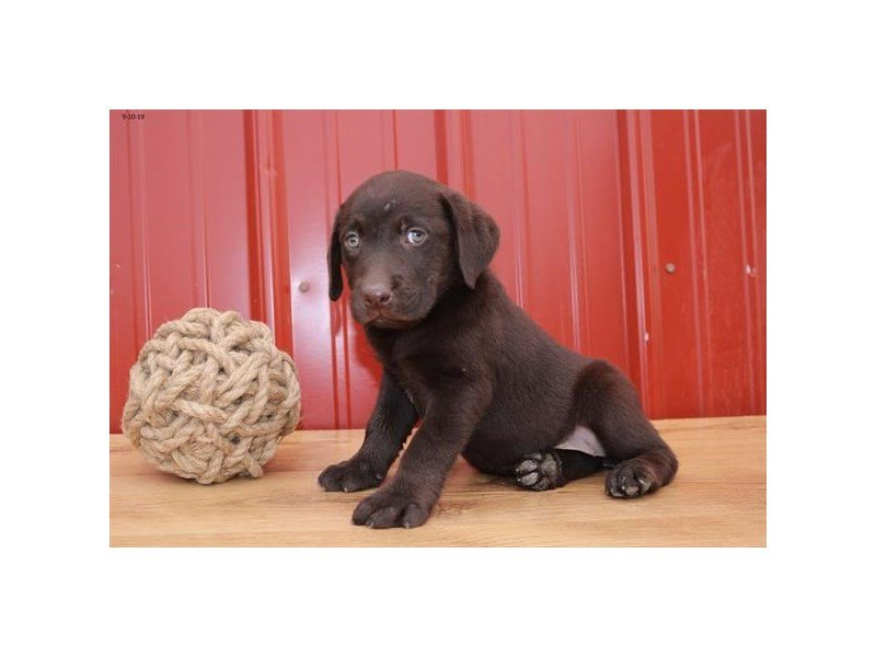 Labrador Retriever-Female-Chocolate-2497981-Petland Athens, OH