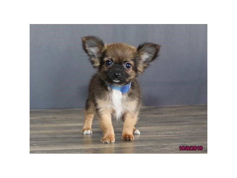 Chihuahua-DOG-Male-Sable-2497982-Petland Athens, OH