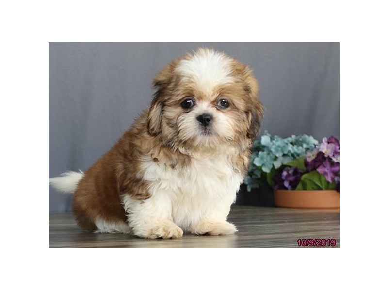 Shih Tzu-Male-Red Sable-2497984-Petland Athens, OH