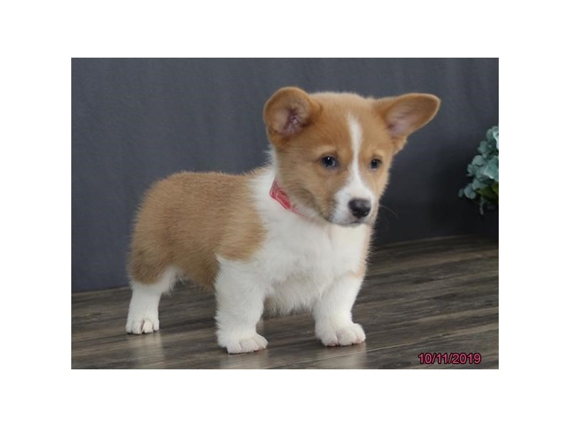 Pembroke Welsh Corgi-DOG-Male-Red / White-2497987-Petland Athens, OH