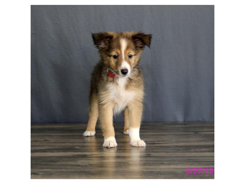 Shetland Sheepdog-Female-Sable / White-2497988-Petland Athens, OH