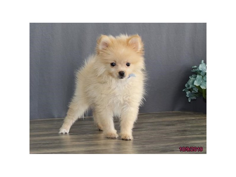 Pomeranian-DOG-Male-Cream-2497989-Petland Athens, OH