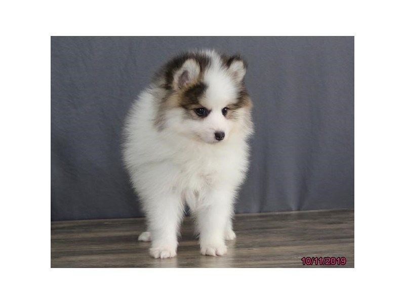 Pomsky 2nd Gen-DOG-Male-Brown / White-2498160-Petland Athens, OH