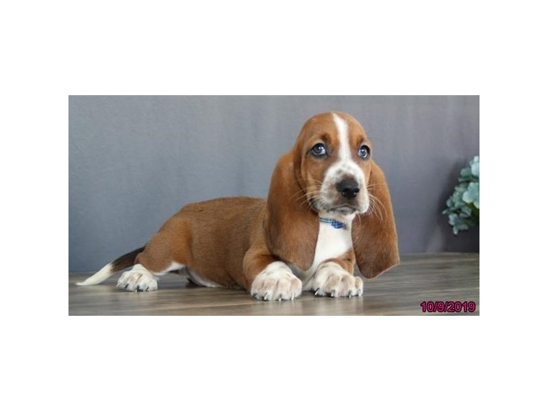 Basset Hound-DOG-Male-Red / White-2498417-Petland Athens, OH
