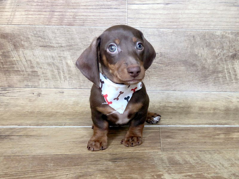 Dachshund-Male-CHOCOLATE TAN-2503174-Petland Athens, OH