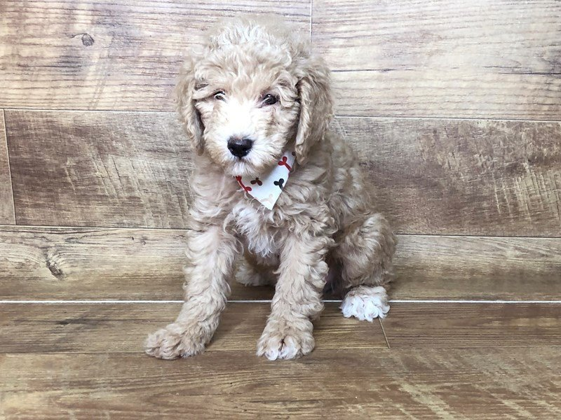 Miniature Poodle-Male-RED-2503484-Petland Athens, OH