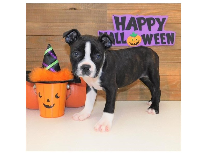 Boston Terrier-Female-Black Brindle / White-2511338-Petland Athens, OH