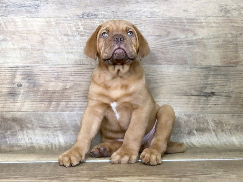 Dogue De Bordeaux-DOG-Male-Red-2507089-Petland Athens, OH