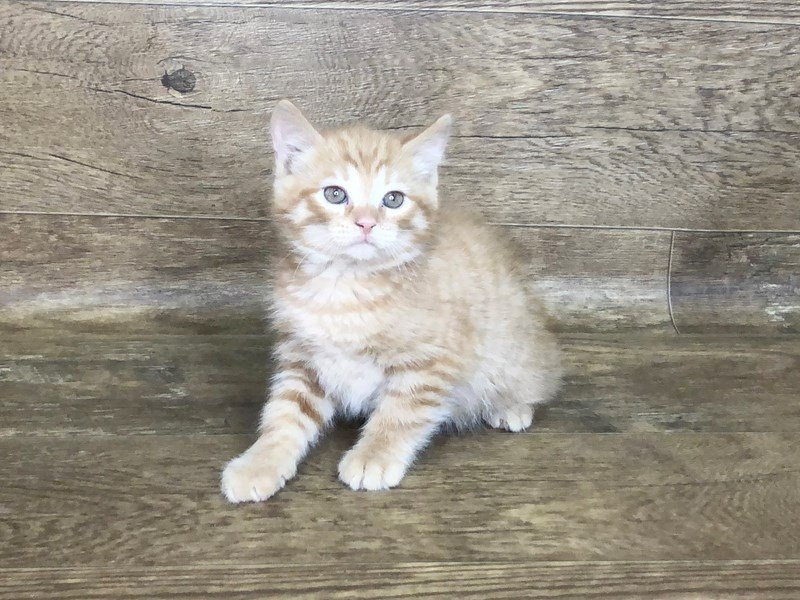 American Shorthair-Male-orange-2506396-Petland Athens, OH