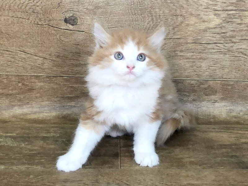 American Mediumhair-CAT-Male-orange tabby-2506360-Petland Athens, OH
