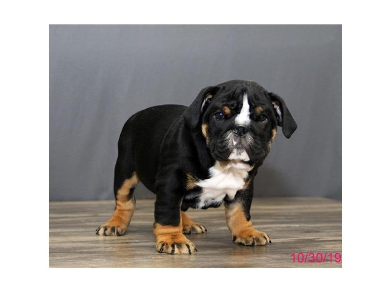 Bulldog-Male-Black Tan / White-2517662-Petland Athens, OH