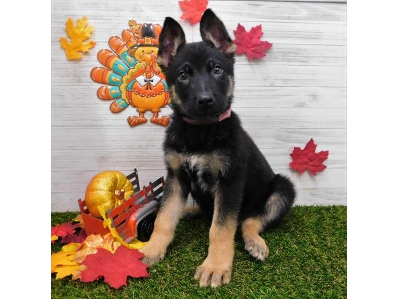German Shepherd Dog-Male-Black / Tan-2533564-Petland Athens, OH