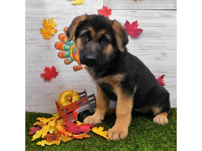 German Shepherd Dog-Female-Black / Tan-2533578-Petland Athens, OH