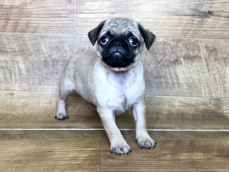 Pug-DOG-Female-FAWN-2537515-Petland Athens, OH