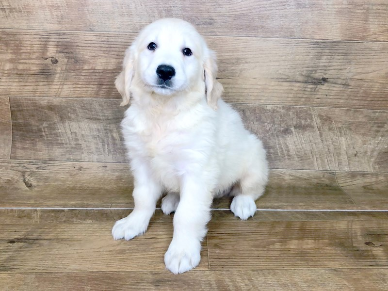 Golden Retriever-Male-Light Golden-2537332-Petland Athens, OH