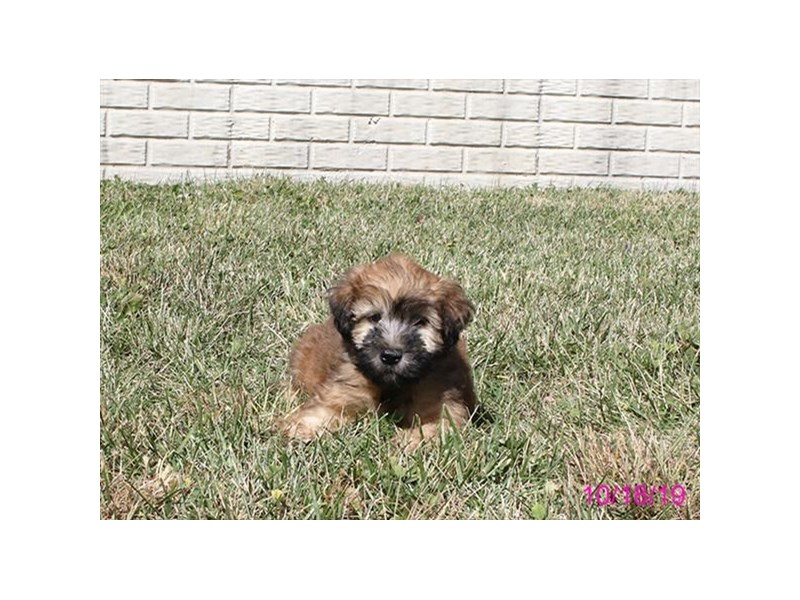 Soft Coated Wheaten Terrier-DOG-Male-Wheaten-2504428-Petland Athens, OH